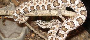 massasauga rattle snake