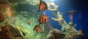 spade fish