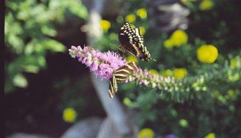 Zebra and swallowtail