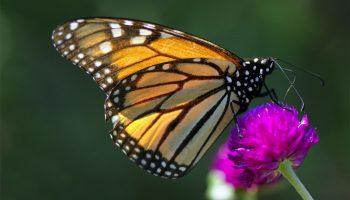 monarch-resized